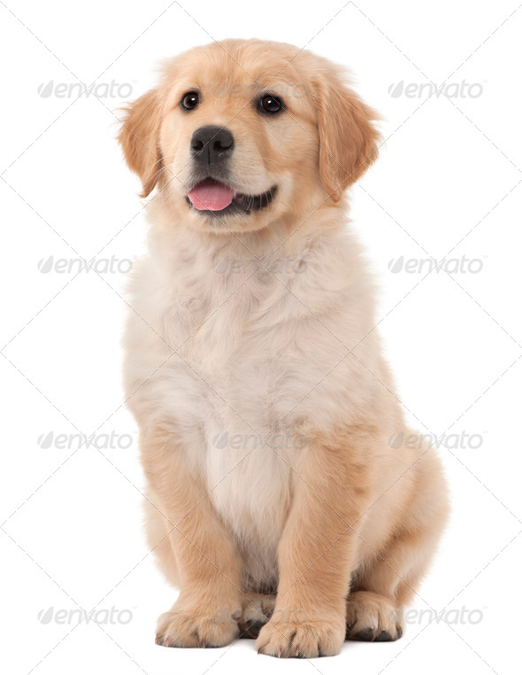 Golden Retriever puppy, 2 months old, sitting against white background - Stock Photo - Images