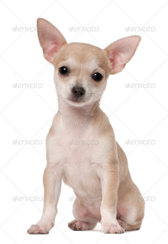 Chihuahua puppy, 3 months old, sitting against white background - Stock Photo - Images