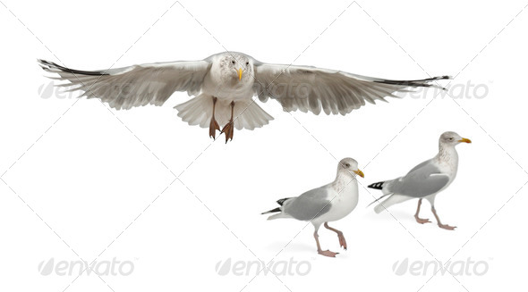 European Herring Gulls, Larus argentatus, 4 years old, walking against white background - Stock Photo - Images