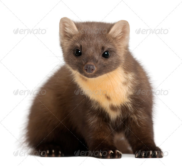 European Pine Marten or pine marten, Martes martes, 4 years old, sitting against white background - Stock Photo - Images