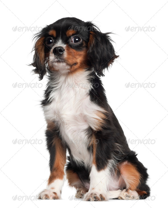 Cavalier king Charles puppy sitting against white background - Stock Photo - Images