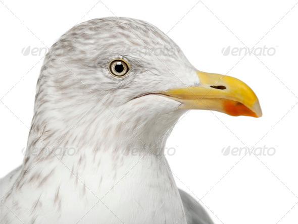 European Herring Gull, Larus argentatus, 4 years old, against white background - Stock Photo - Images