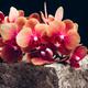 Orange Phalaenopsis Orchid Plant - PhotoDune Item for Sale