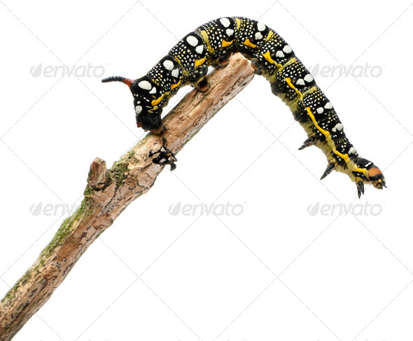Spurge Hawk, Hyles Euphorbiae, caterpillar on branch against white background - Stock Photo - Images