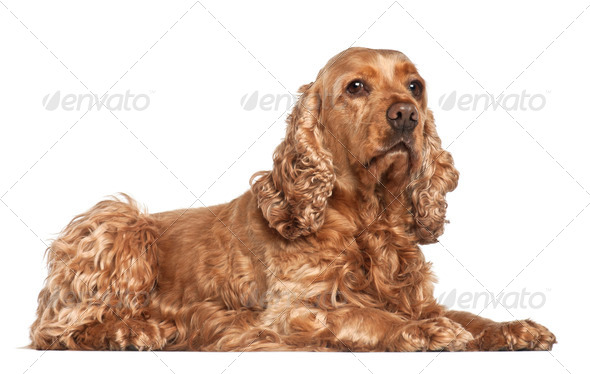 English cocker spaniel, 6 years old, lying against white background - Stock Photo - Images