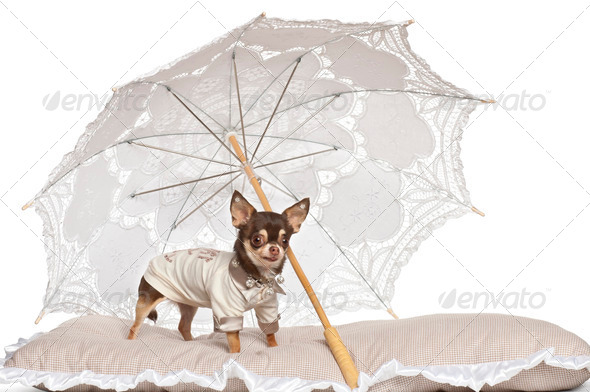 Chihuahua standing under parasol against white background - Stock Photo - Images