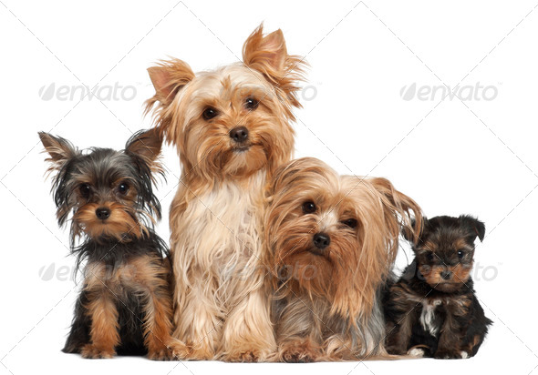 Yorkshire Terriers sitting against white background - Stock Photo - Images