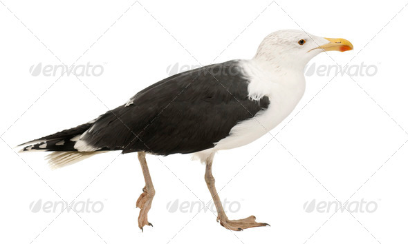 Great Black-backed Gull, Larus marinus, 4 years old, walking against white background - Stock Photo - Images