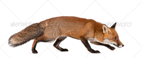 Red fox, Vulpes vulpes, 4 years old, walking against white background - Stock Photo - Images