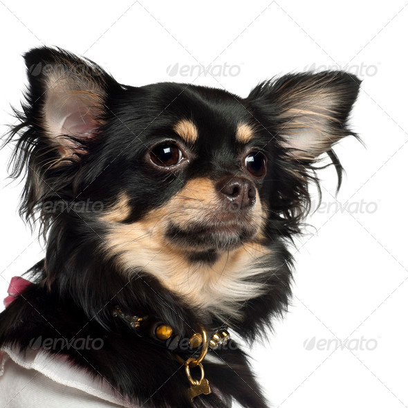 Chihuahua, 10 months old, against white background - Stock Photo - Images