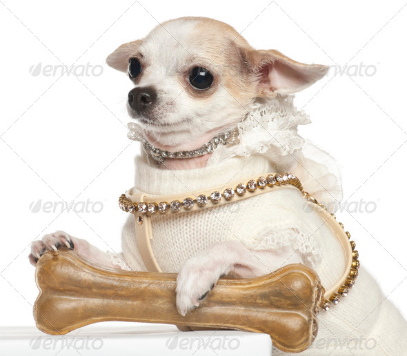 Chihuahua, 2 years old, sitting against white background - Stock Photo - Images
