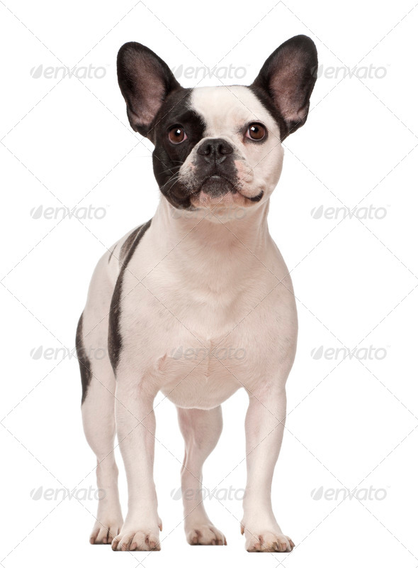 French Bulldog, 3 years old, standing against white background - Stock Photo - Images