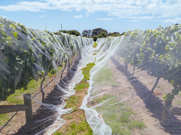 Mornington Peninsula Vines - Stock Photo - Images