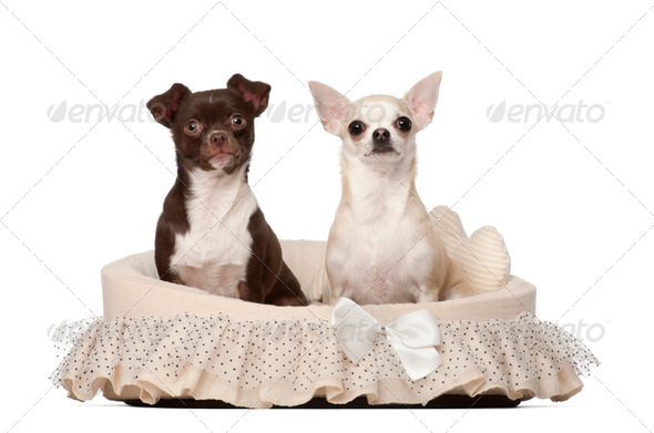 Chihuahuas, 2 and 4 years old, sitting in dog basket against white background - Stock Photo - Images