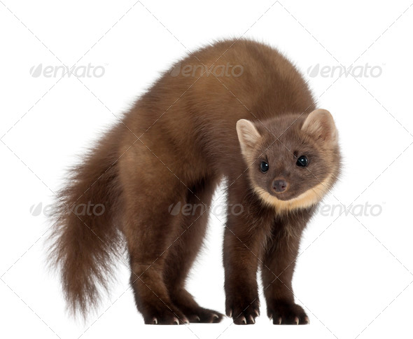 European Pine Marten or pine marten, Martes martes, 4 years old, standing against white background - Stock Photo - Images