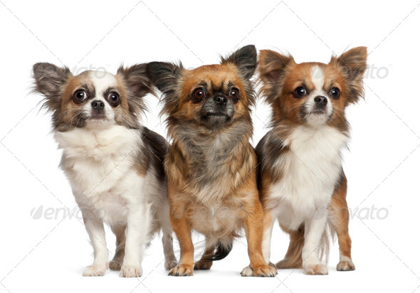 Chihuahuas, 1 year old, standing against white background - Stock Photo - Images