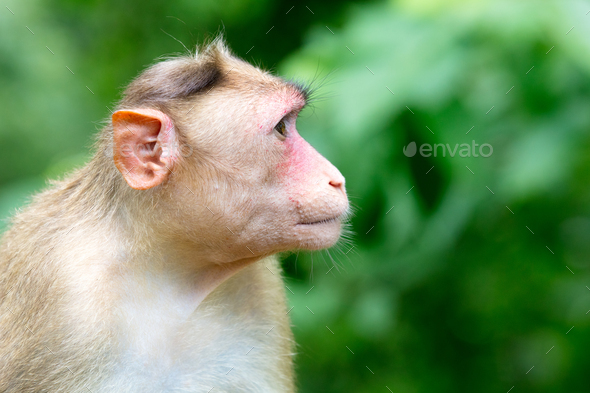 Monkey at Sanjay Gandhi National Park - Stock Photo - Images