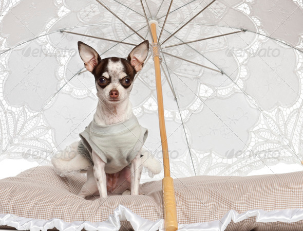 Chihuahua, 10 months old, sitting under parasol against white background - Stock Photo - Images