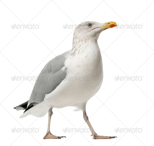 European Herring Gull, Larus argentatus, 4 years old, standing against white background - Stock Photo - Images