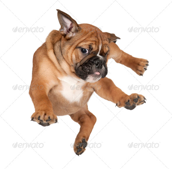 Flying Boxer puppy against white background - Stock Photo - Images