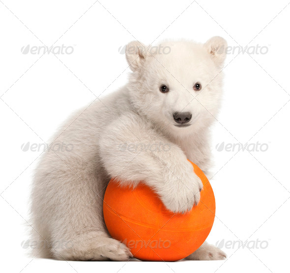 Polar bear cub, Ursus maritimus, 3 months old, playing with orange ball against white background - Stock Photo - Images