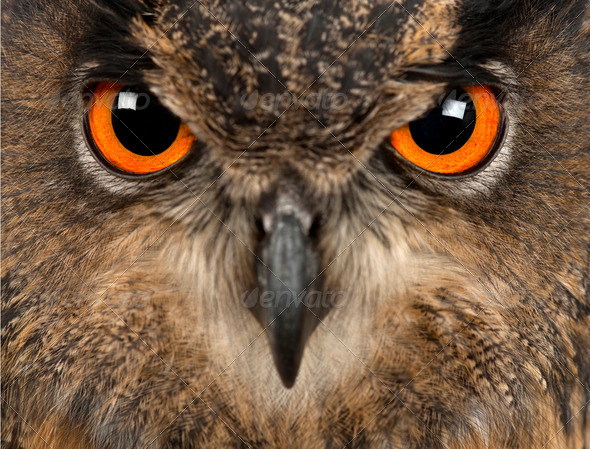 Eurasian Eagle-Owl, Bubo bubo, 15 years old, close-up - Stock Photo - Images