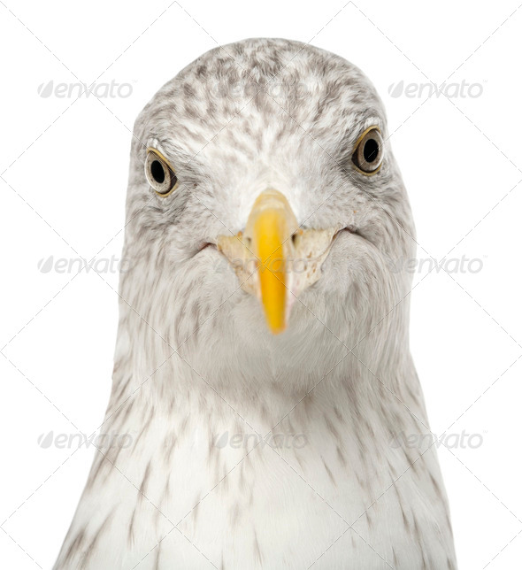 European Herring Gull, Larus argentatus, 4 years old, against white background - Stock Photo - Images