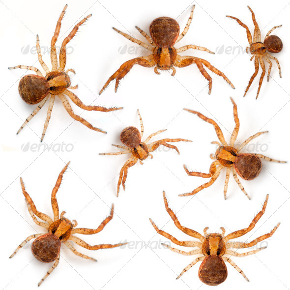 Crab spiders, Xysticus sp against white background - Stock Photo - Images