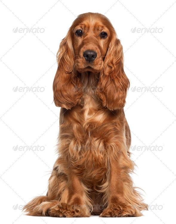 English cocker spaniel, 9 months old, sitting against white background - Stock Photo - Images