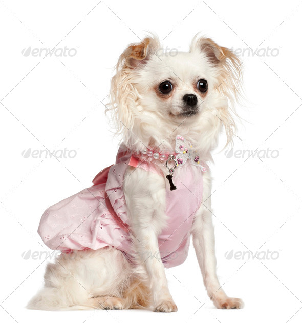 Chihuahua sitting against white background - Stock Photo - Images