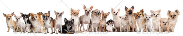 Group of Chihuahuas sitting against white background - Stock Photo - Images