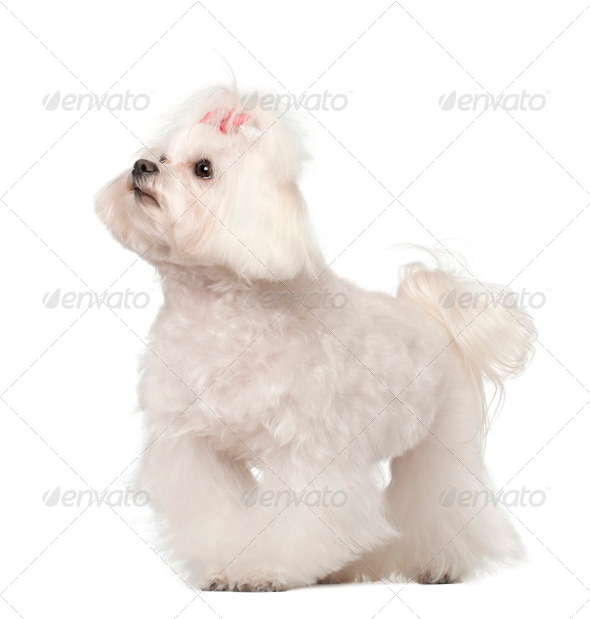 Maltese standing against white background - Stock Photo - Images