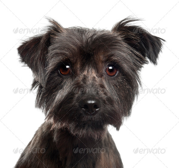 Yorkshire Terrier, 2 years old, against white background - Stock Photo - Images