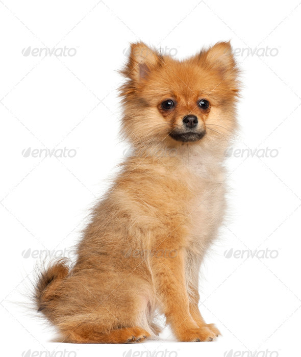 Spitz puppy, 3 months old, sitting against white background - Stock Photo - Images