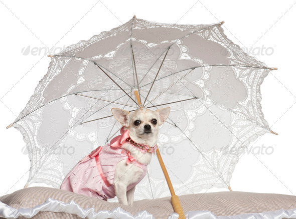 Chihuahua, 1.5 years old, sitting under parasol against white background - Stock Photo - Images