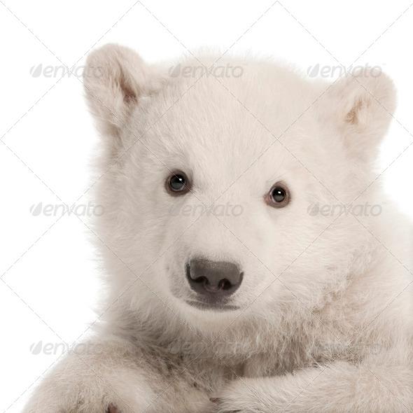 Polar bear cub, Ursus maritimus, 3 months old, sitting against white background - Stock Photo - Images