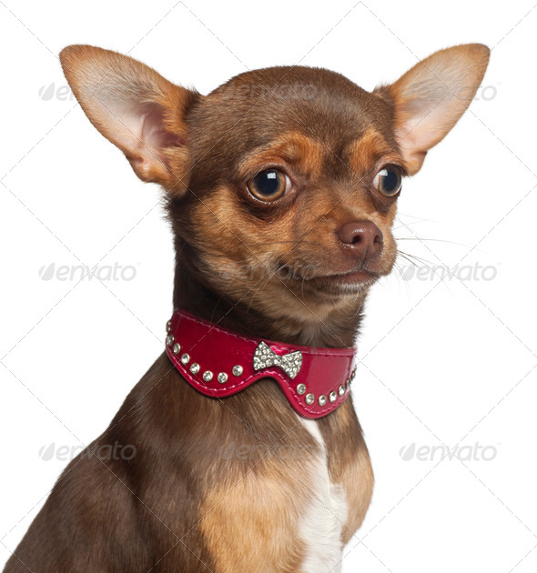 Chihuahua puppy, 6 months old, sitting against white background - Stock Photo - Images