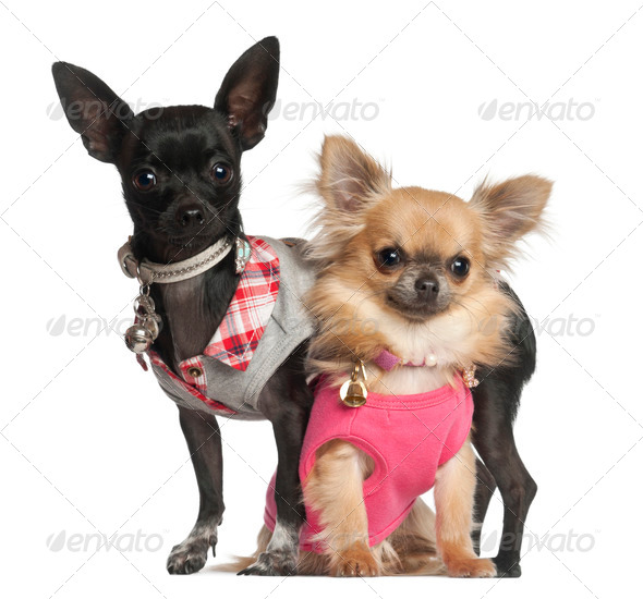 Chihuahuas sitting against white background - Stock Photo - Images