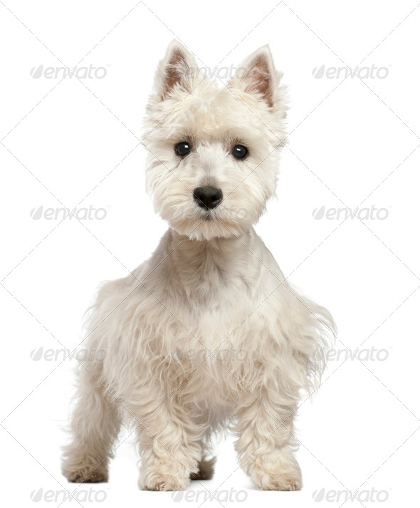 West Highland White Terrier puppy, 6 months old, standing against white background - Stock Photo - Images
