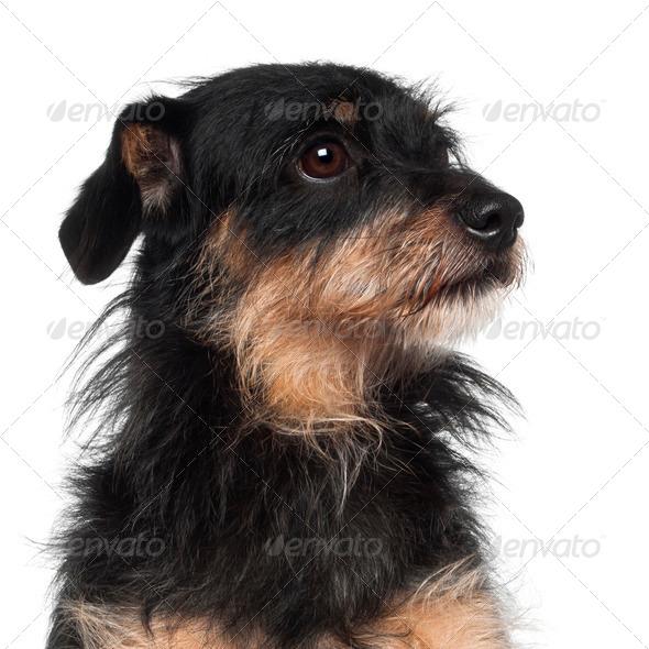 Crossbreed dog sitting against white background - Stock Photo - Images
