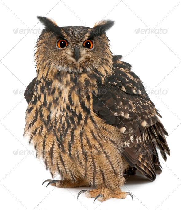 Eurasian Eagle-Owl, Bubo bubo, 15 years old, standing against white background - Stock Photo - Images