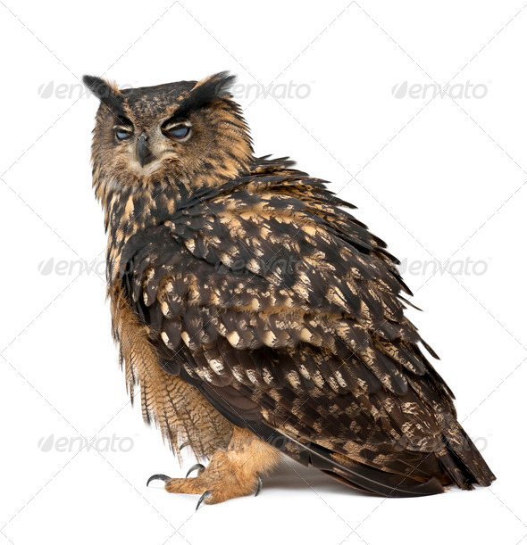 Eurasian Eagle-Owl, Bubo bubo, 15 years old, standing with eyes closed against white background - Stock Photo - Images