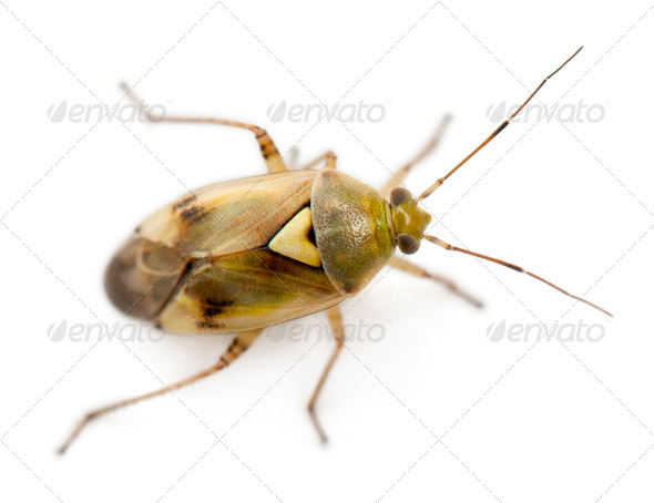 Plant bug, Miridae Lygus sp, against white background - Stock Photo - Images