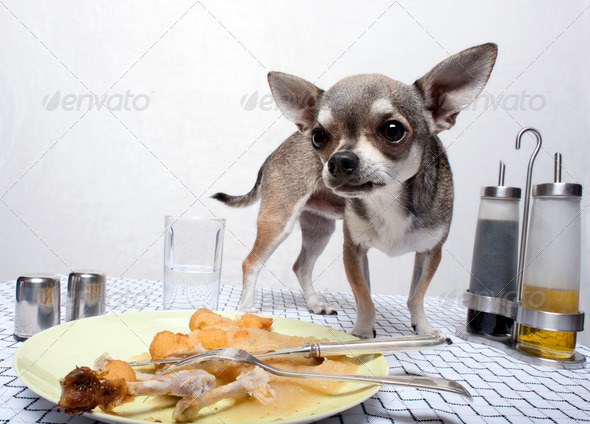 Chihuahua standing by food on dinner table - Stock Photo - Images