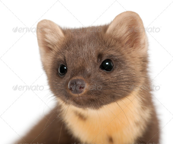 European Pine Marten or pine marten, Martes martes, 4 years old, against white background - Stock Photo - Images