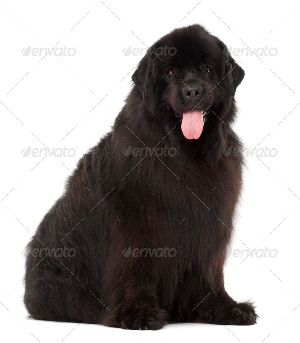 Newfoundland, 4 years old, sitting against white background - Stock Photo - Images
