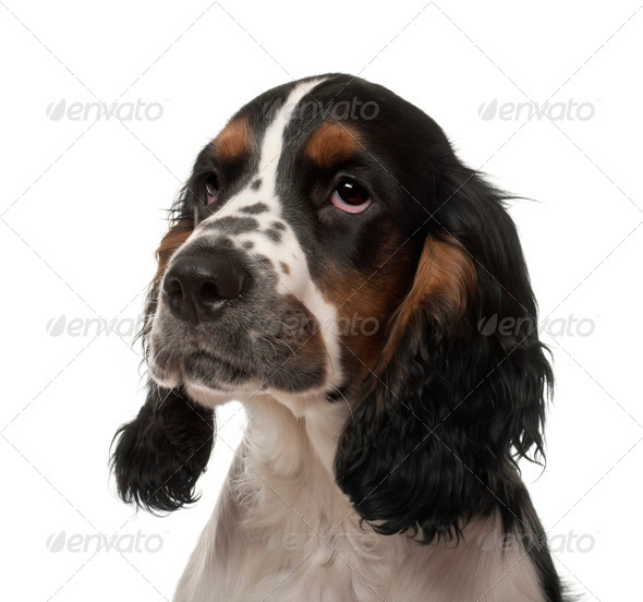 English Cocker Spaniel puppy, 4 months old, against white background - Stock Photo - Images