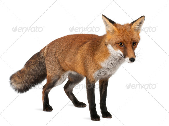 Red fox, Vulpes vulpes, 4 years old, standing against white background - Stock Photo - Images