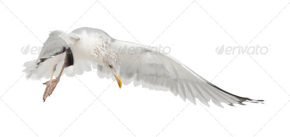 European Herring Gull, Larus argentatus, 4 years old, flying against white background - Stock Photo - Images