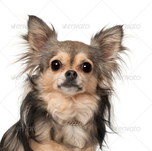 Chihuahua against white background - Stock Photo - Images